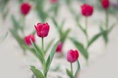 Tulipes rouges avec les feuilles vertes Photographie stock