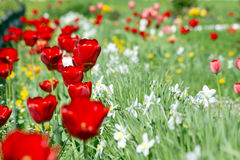 Tulipes rouges avec les fleurs blanches et jaunes Image stock