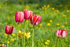 Tulipes rouges avec les fleurs jaunes Photo libre de droits