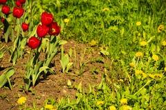 Tulipes rouges avec les pissenlits jaunes dans le parterre photo libre de droits