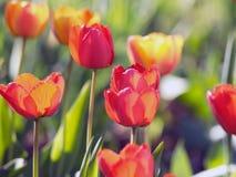Tulipes rouges Belles fleurs de source Photo libre de droits