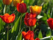 Tulipes rouges Belles fleurs de source Photographie stock libre de droits