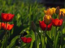 Tulipes rouges Belles fleurs de source Photographie stock