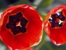Tulipes rouges Belles fleurs de source Images stock