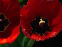Tulipes rouges Belles fleurs de source Image stock
