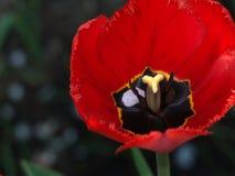 Tulipes rouges Belles fleurs de source Image libre de droits