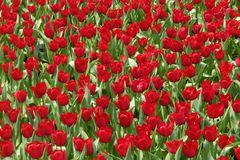 Tulipes rouges chez Hong Kong Photo stock