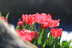 Tulipes rouges chez la dinde photo stock