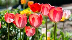 Tulipes rouges classiques dans le jardin Photo stock