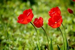 Tulipes rouges d'écarlate dans le domaine, foyer mou Image libre de droits