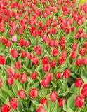 Tulipes rouges d'impression image libre de droits