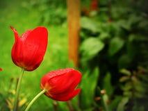 Tulipes rouges d'isolement avec des baisses de pluie, au jardin et au bel arrière-plan vert images libres de droits