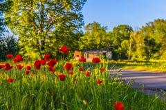 Tulipes rouges dans l'herbe verte avec la vieille maison à l'arrière-plan Images libres de droits