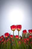 Tulipes rouges dans le jardin Photo stock