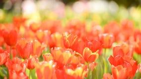 Tulipes rouges dans le jardin Belle vue des tulipes rouges et oranges sous la lumière du soleil s'élevant sur le jardin en été photos libres de droits