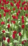 Tulipes rouges/tulipes rouges dans le jardin photographie stock libre de droits