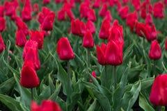 Tulipes rouges dans le jardin Nature florale de carte Fleur rouge de tulipe Fleurs de jardin Horizontal color? de source Ressort  images libres de droits