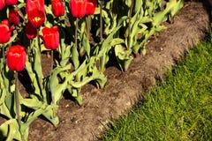 Tulipes rouges dans le parterre avec l'herbe photo stock