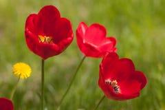 Tulipes rouges dans le premier plan photo stock