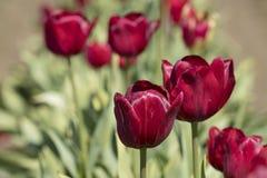 Tulipes rouges dans un domaine Photos stock