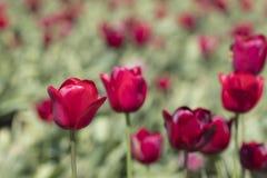 Tulipes rouges dans un domaine Photos libres de droits