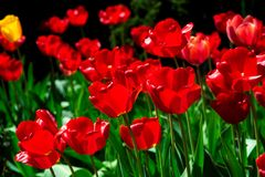 Tulipes rouges dans un parterre image libre de droits