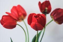 Tulipes rouges dans un vase photos stock