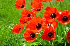 Tulipes rouges de floraison Photographie stock
