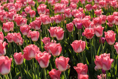 Tulipes rouges de floraison Image stock