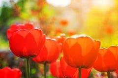 Tulipes rouges de floraison au printemps Images stock