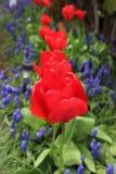 Tulipes rouges de floraison avec des jacinthes de raisin au printemps Images stock