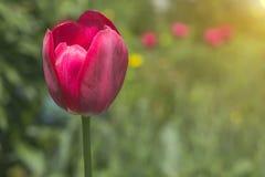 Tulipes rouges de floraison dans l'herbe verte Photos libres de droits