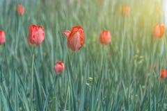 Tulipes rouges de floraison dans l'herbe verte Images stock