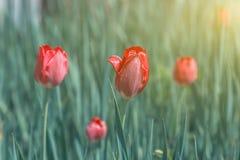 Tulipes rouges de floraison dans l'herbe verte Photographie stock libre de droits