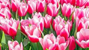 Tulipes rouges de floraison dans le printemps aux Pays-Bas Photo libre de droits
