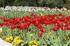Tulipes rouges de floraison dans un jardin de ressort Photos libres de droits
