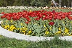 Tulipes rouges de floraison dans un jardin de ressort Image libre de droits