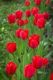 Tulipes rouges de floraison de printemps dans le jardin Image libre de droits