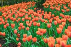 Tulipes rouges de floraison de ressort dans le jardin Image libre de droits