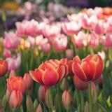 Tulipes rouges de floraison, foyer sélectif, concept de fond de carte postale de ressort Images libres de droits