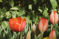 Tulipes rouges de floraison, foyer sélectif, concept de fond de carte postale de ressort Photographie stock