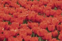 Tulipes rouges de floraison pittoresques lumineuses Ressort, fond naturel d'été, texture, foyer de selectiv Photo stock