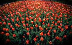 Tulipes rouges de printemps en pleine floraison Photographie stock libre de droits