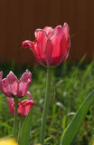 Tulipes rouges de ressort Image stock