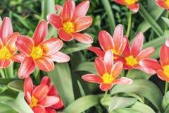 Tulipes rouges de ressort une journée de printemps ensoleillée, tulipes rouges un jour ensoleillé images stock