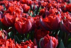 Tulipes rouges de variété d'Abba Photo libre de droits