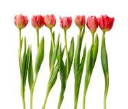 Tulipes rouges, doubles fleurs de ressort d'isolement sur le blanc Images stock