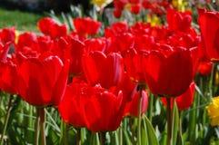 Tulipes rouges en été image stock
