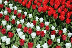 Tulipes rouges et blanches Photos libres de droits