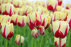 Tulipes rouges et blanches Photo stock